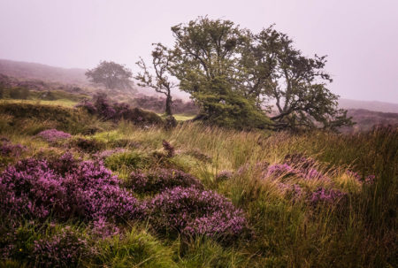 Heather on the Moor by Paula Cooper