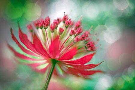 Dazzling Astrantia by Annemarie Farley