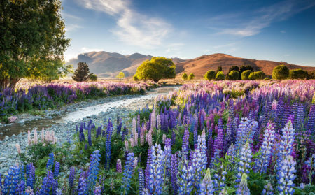 Tekapo Lupins by Richard Bloom