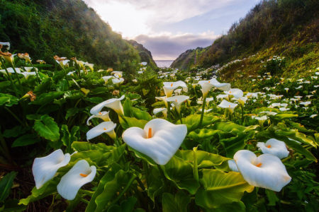 The Wild Calla Lily Valley by Jean Li
