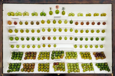 Gooseberry Display Case by Liz Every