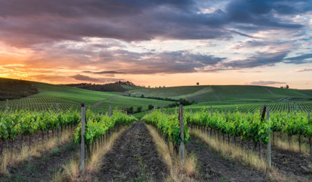 Vineyard at Sunset by Jude Gadd
