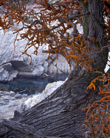 Monterey Cypress by Peter Hyde