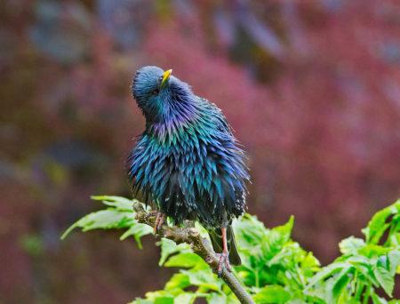 Iridescent Starling by Hazel Byatt