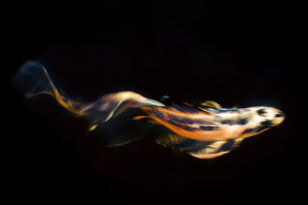 Koi Abstract Number One by Marc Sheridan