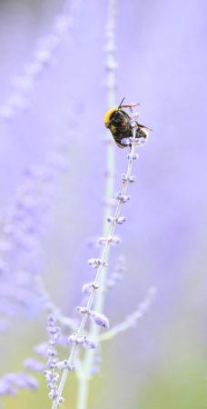 Bee Pollinating Perovskia by Kasia Rees-Jauke