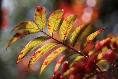 Autumnal Rowan Tree by Ulla Cornelius