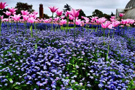Towering Tulips by Carl Jreidini