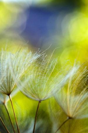 Dandelion by Yang Yu Wei