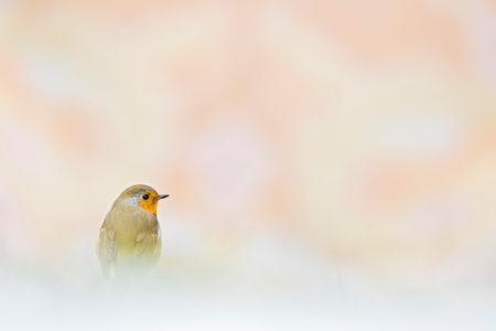 Sweet Robin by Thomas Delahaye