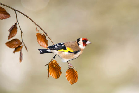 Goldfinch by Jonathan Need