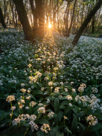 Wild Garlic Sundown by Drew Buckley