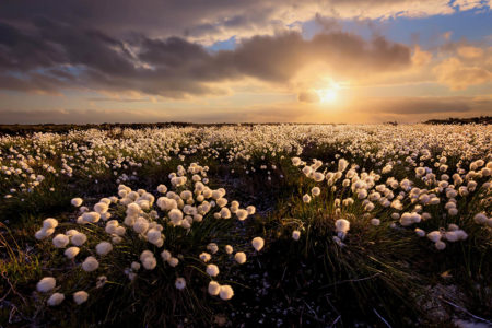 Hare's Tail Cotton Grass by Francis Taylor