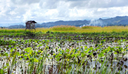 Lotus Cultivation by Gloria King