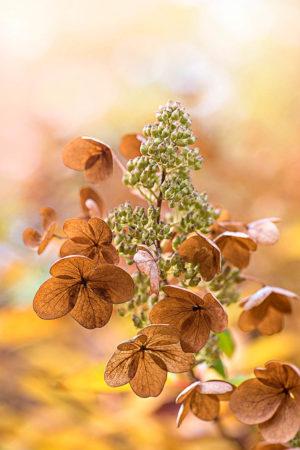 <i>Hydrangea paniculata</i> 'Unique' by Jacky Parker