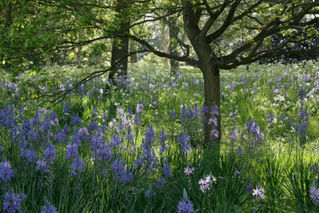 <i>Camassia</i> in the Morning Light by Juliette Wiles