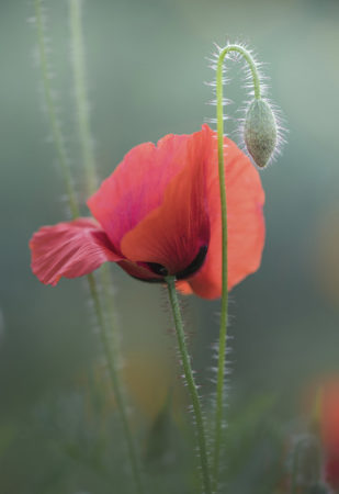 Autumn Poppy by Alison Staite