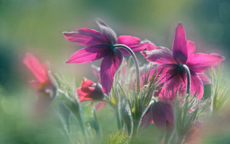 Pasqueflower by Alison Staite