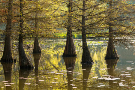 Swamp Cypress by Ulrike Adam