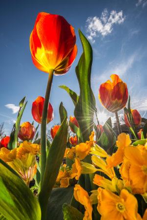 Tulips by Andrea Heribanova