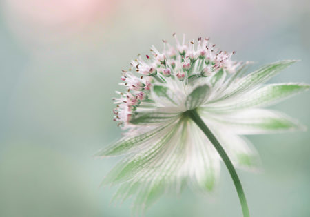 <i>Astrantia</i> by Jane Dibnah