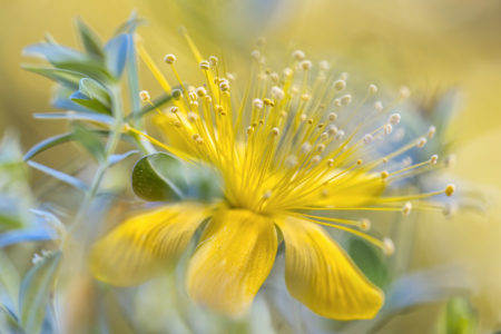Alpine <i>Hypericum</i> by Mandy Disher