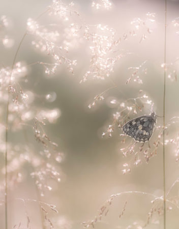 Marbled White Butterfly by Ross Hoddinott