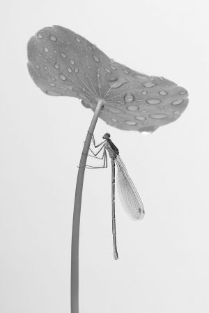 Damselfly Umbrella by Minghui Yuan