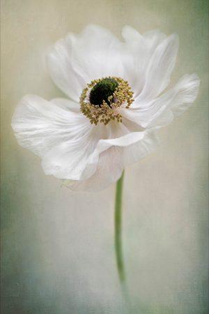 Anemone De Caen by Jacky Parker