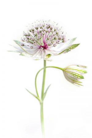 <i>Astrantia major</i> by Jacky Parker