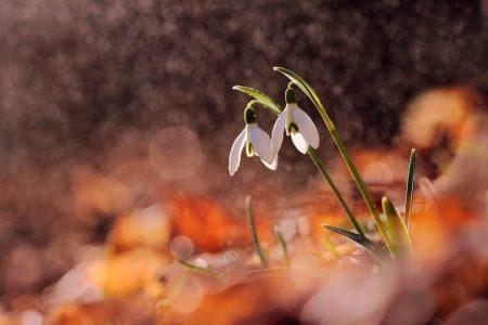 Snowdrops in a Beech Forest by Marek Mierzejewski