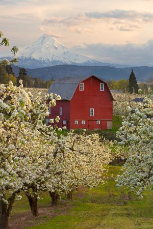 Red Barn Orchard by David Cobb
