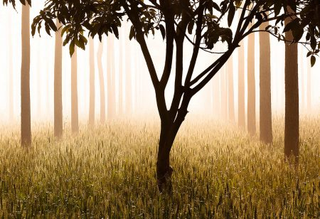 Tree in Fog by Anil Sud
