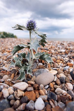 Sea Holly by Gillian Plummer