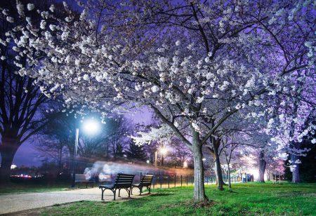 Cherry Blossom Cyclist by Amanda Kleinman