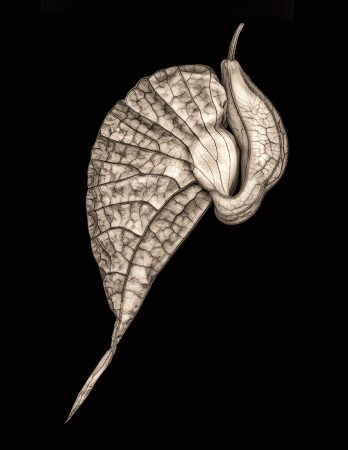 Aristolochia by Don Rice