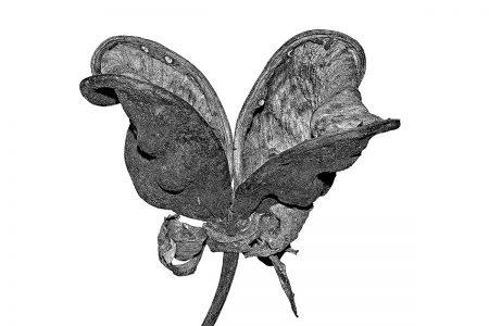 Peony Seedpod by Frank van Pelt