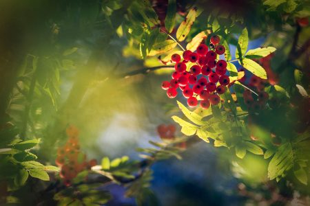 Rowan with Red Berries by Taru Rantala