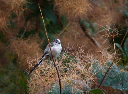 Long-tailed Tit by Hazel Byatt
