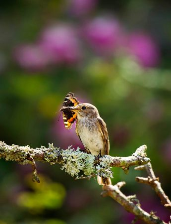 Spotted Flycatcher with Tortoiseshell Butterfly by Chris Robbins
