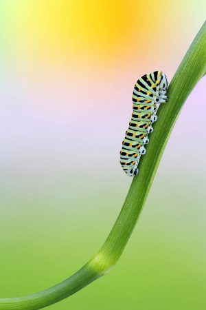 Swallowtail Caterpillar by Stefano Genuardi