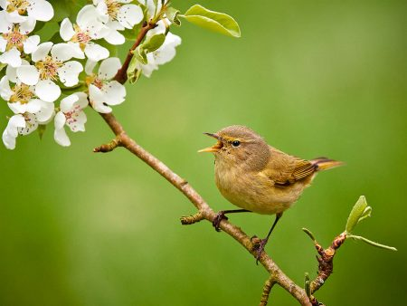 Chiffchaff in Full Song by Jerry Nicholls