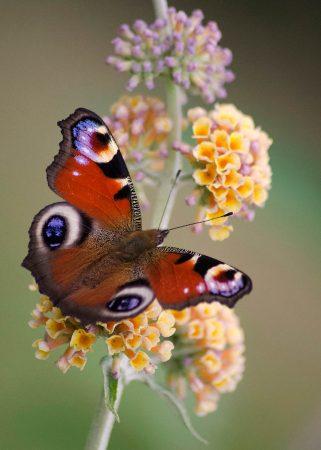 Peacock Butterfly by Emma Seward