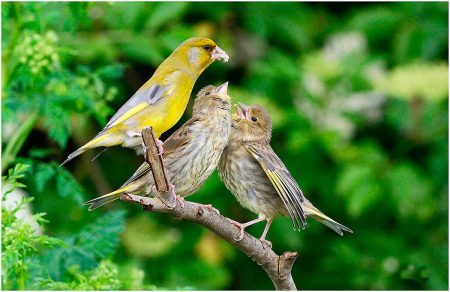 Greenfinch and her Young by Peter Woodgate