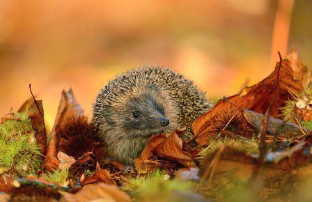 Autumn Hedgehog by Ben Andrew