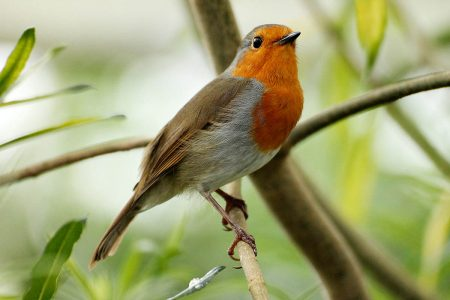 Robin of Kew by Matthew Unwin