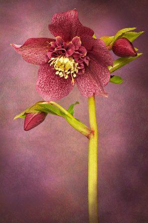 Helleborus orientalis 'Tutu' by Jacky Parker