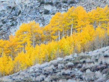 Hillside Aspens by Charita Carter