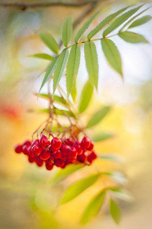 Sorbus commixta 'Embley' by Jacky Parker