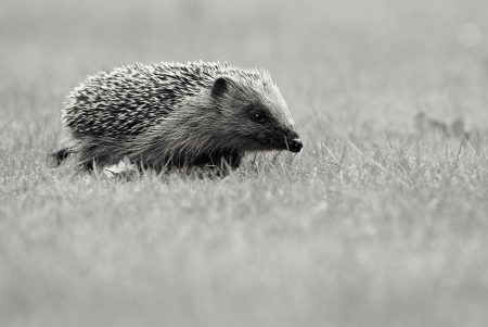 Hedgehog by Samuel Aron